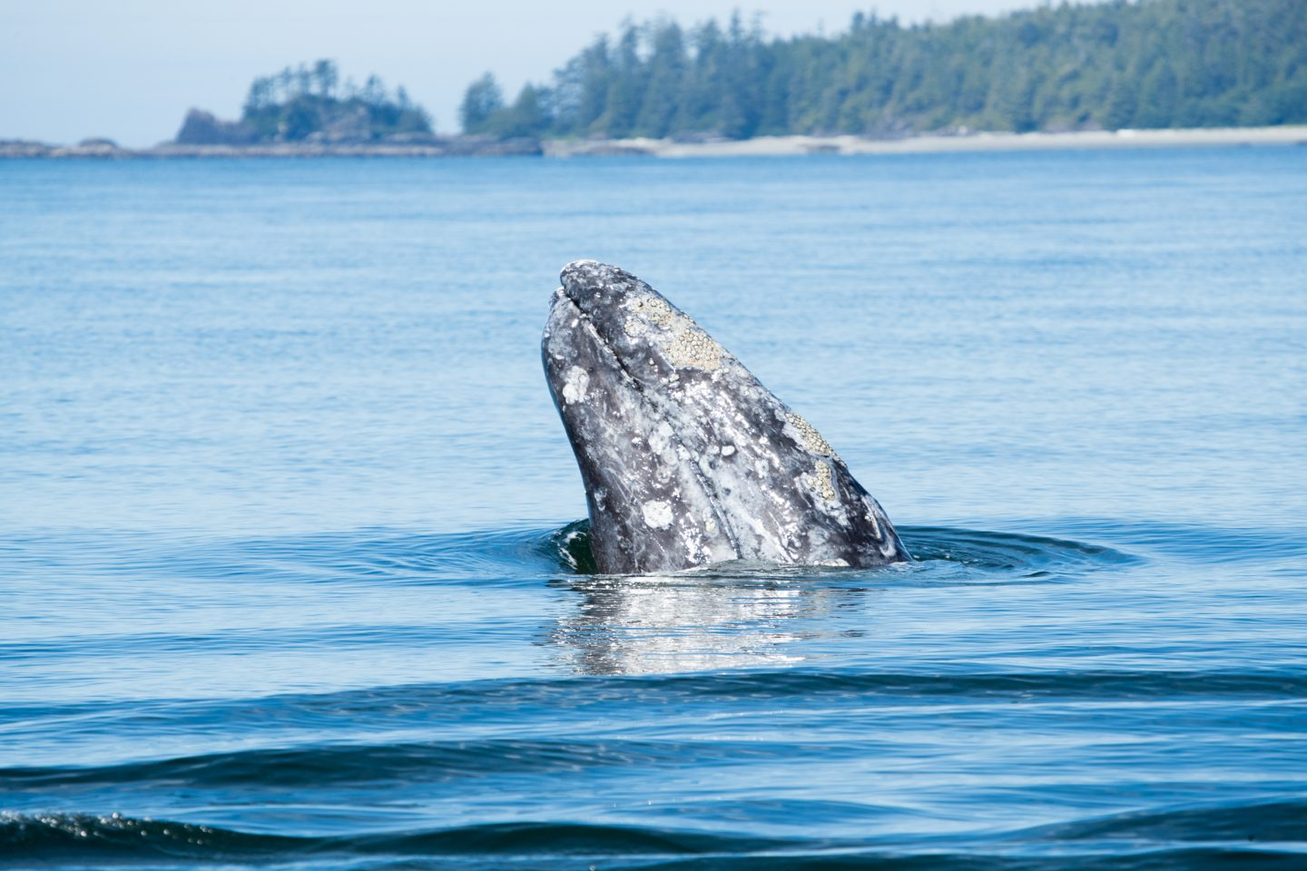 grey whale ucluelet